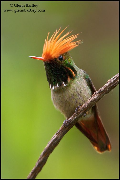 Rufous-crested Coquette (Lophornis delattrei) perched on a branch in Peru.