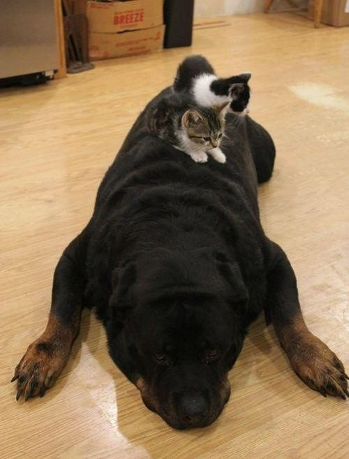 cats-sleeping-on-dogs-10