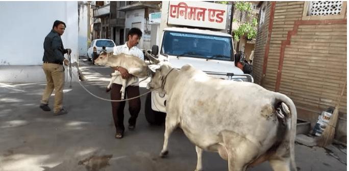 cow12