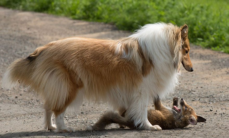 This Baby Fox's Mom Died In A Car Accident  Watch How This Collie