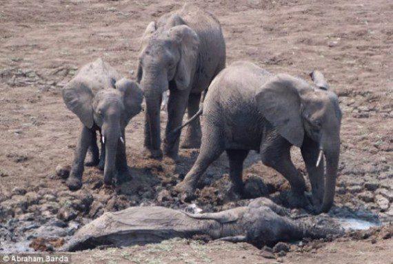 elephants-stuck-in-mud-1