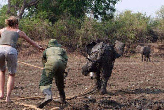 elephants-stuck-in-mud-10