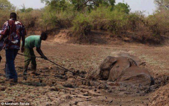 elephants-stuck-in-mud-11