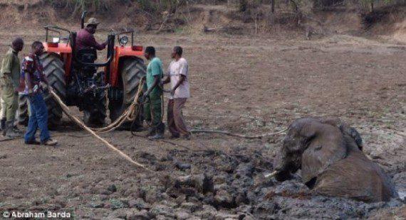 elephants-stuck-in-mud-12