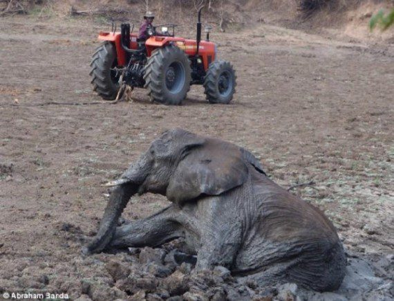elephants-stuck-in-mud-13