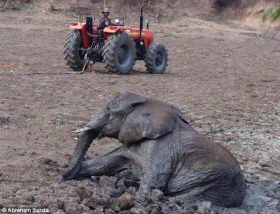 elephants-stuck-in-mud-13