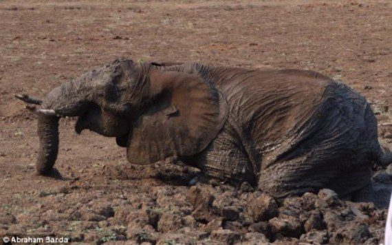 elephants-stuck-in-mud-14
