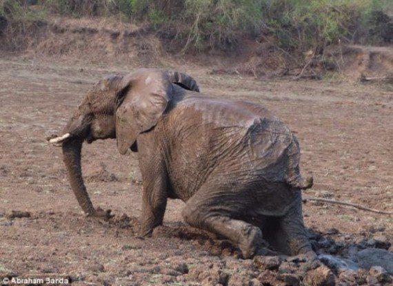 elephants-stuck-in-mud-15