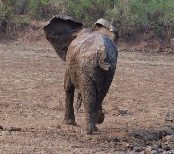 elephants-stuck-in-mud-16