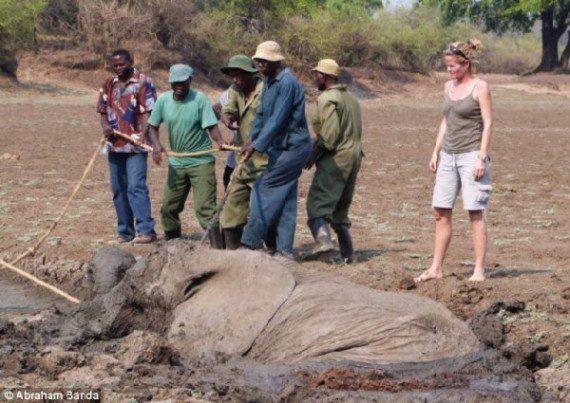 elephants-stuck-in-mud-3