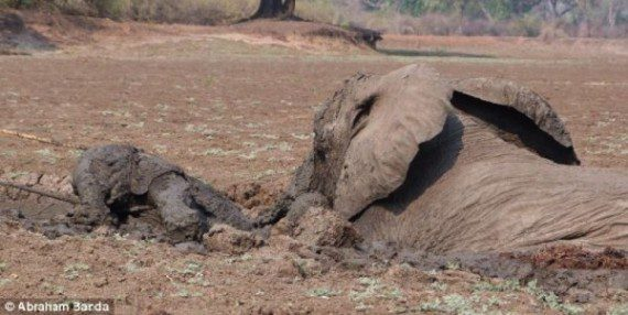 elephants-stuck-in-mud-4