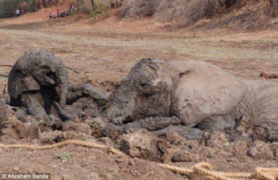 elephants-stuck-in-mud-5