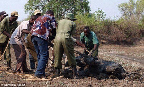 elephants-stuck-in-mud-9