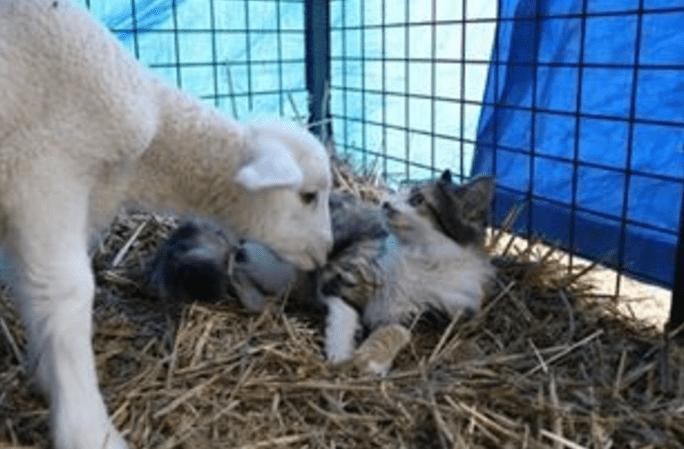 lamb4