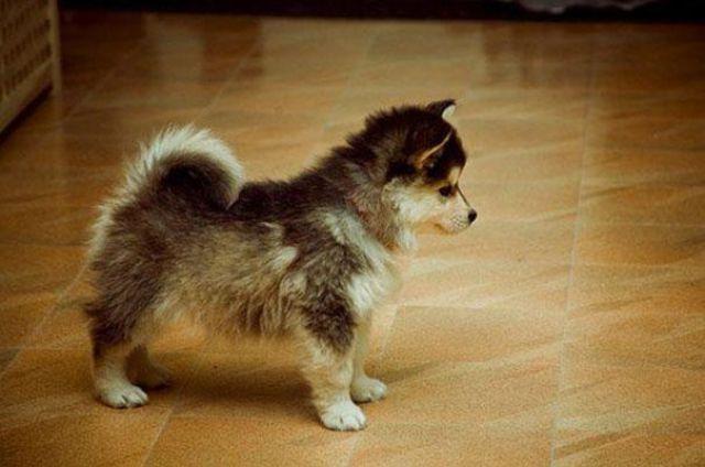 unique_dog_cross_breeds_12