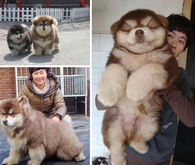 unique_dog_cross_breeds_19