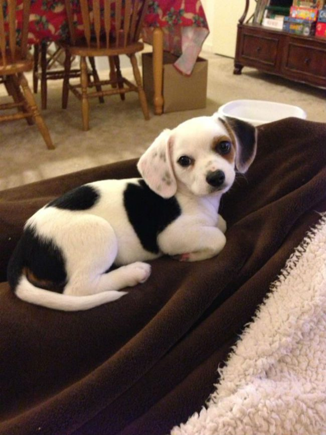 unique_dog_cross_breeds_22