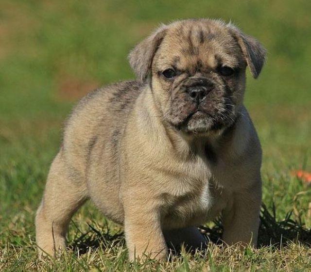 unique_dog_cross_breeds_8