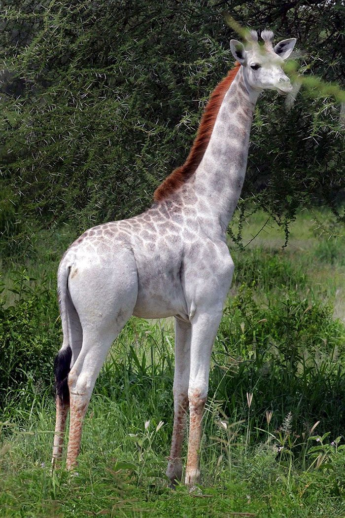 white-giraffe-1