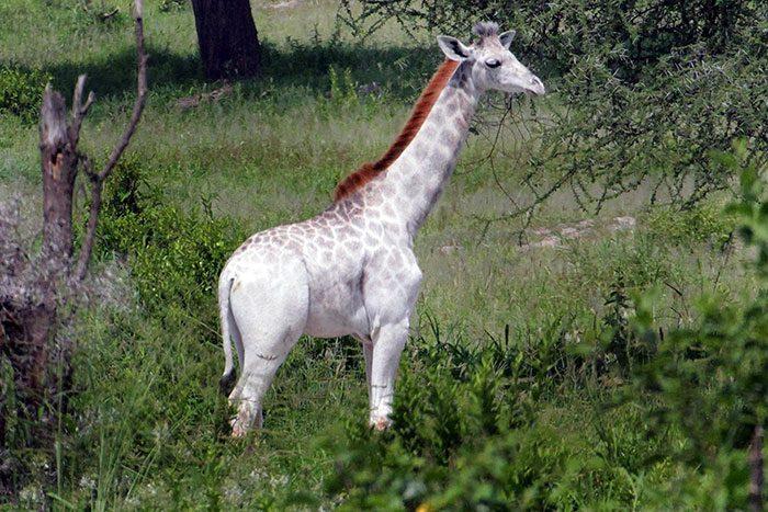 white-giraffe-2