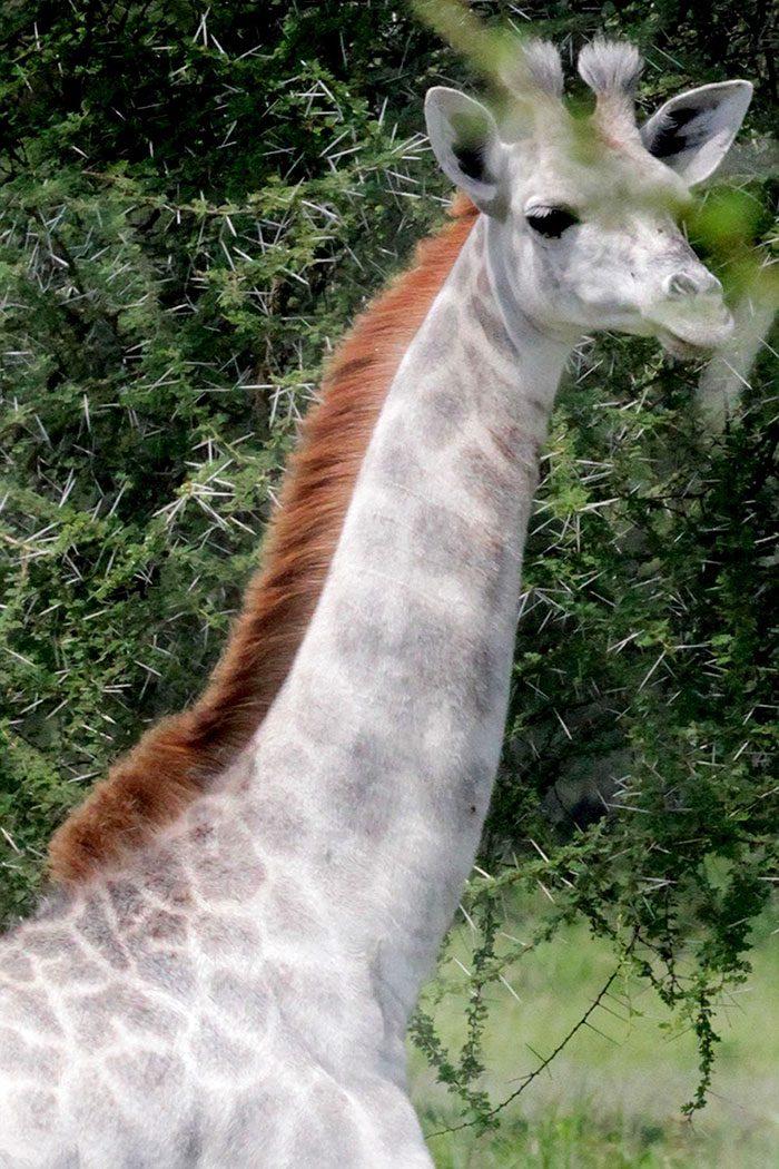 white-giraffe-3