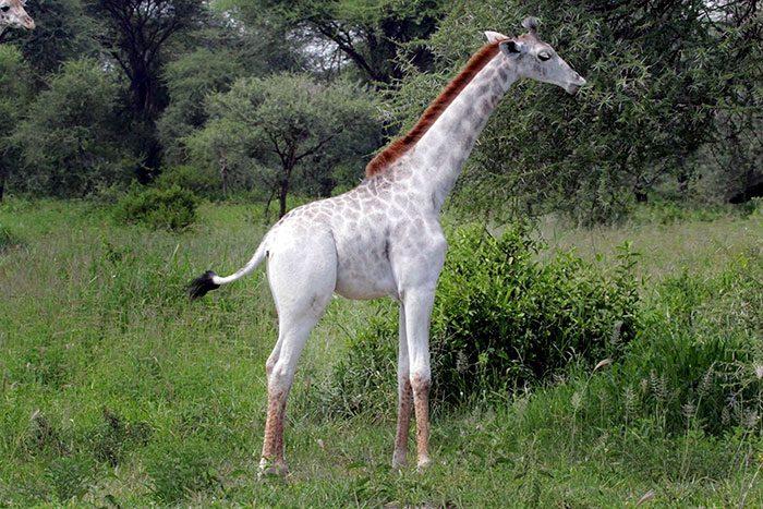 white-giraffe-4