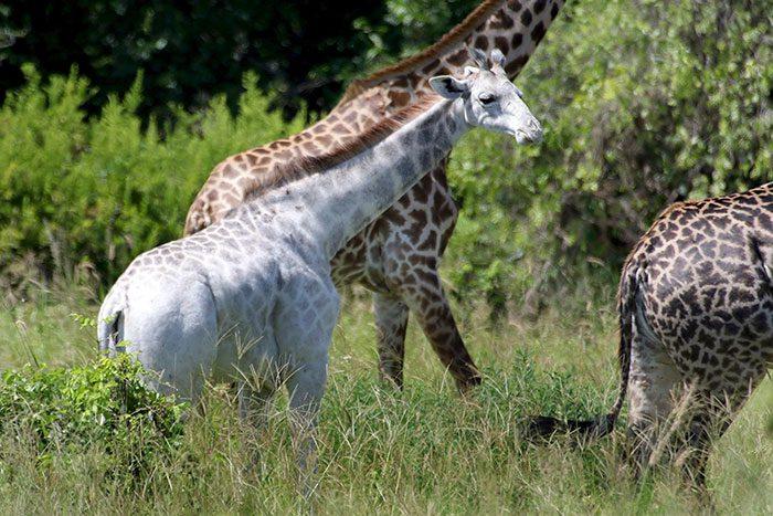 white-giraffe-5