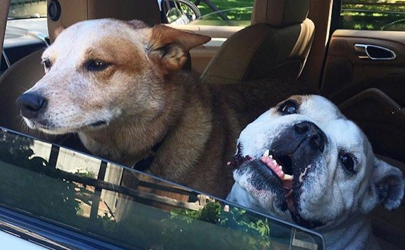 Dogs-in-hot-car