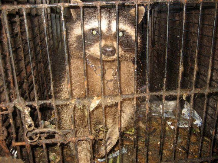 raccoonrescue