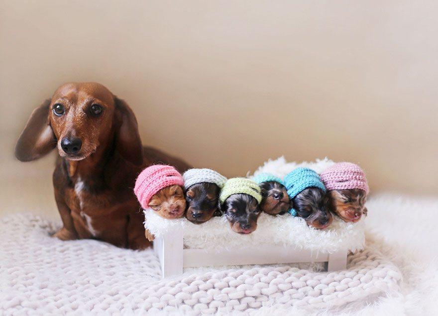 sausage-dog-maternity-photoshoot-puppies-2-1