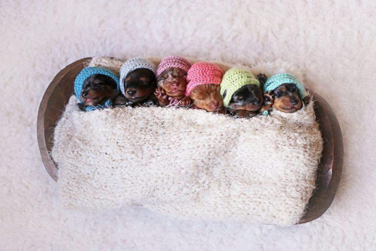 sausage-dog-maternity-photoshoot-puppies-3-768x512