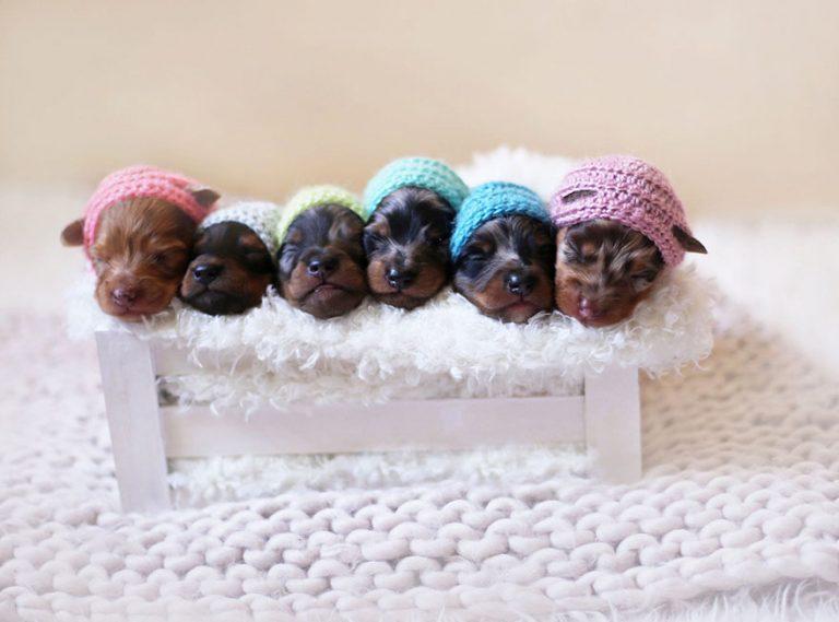 sausage-dog-maternity-photoshoot-puppies-4-768x569