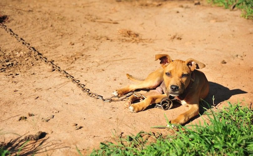 ASPCA-Dogfighting-Pit-Bull-Puppy-on-a-Chain