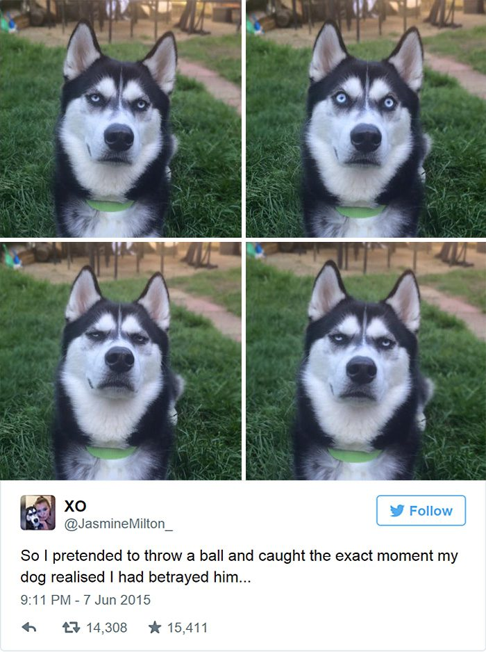 dog-tricked-facial-expression-anuko-husky-12