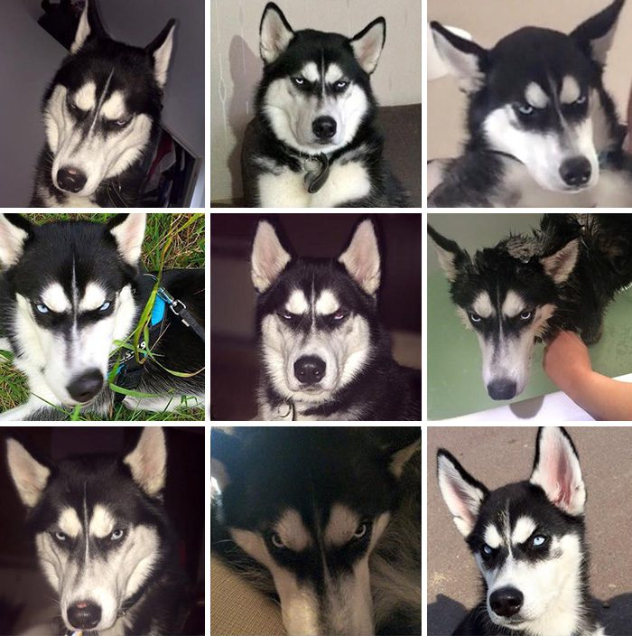 dog-tricked-facial-expression-anuko-husky-2