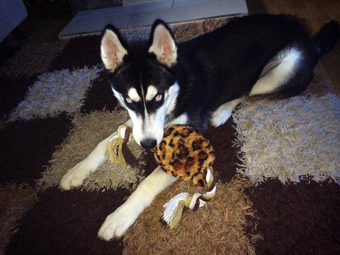 dog-tricked-facial-expression-anuko-husky-3