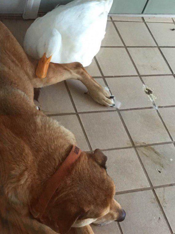 duck3-570x760