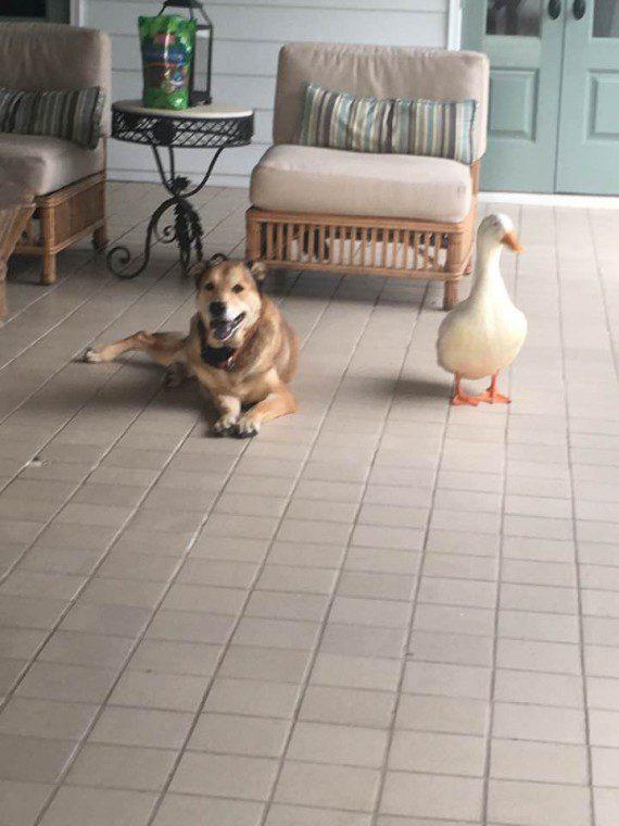 duck5-570x760 (1)