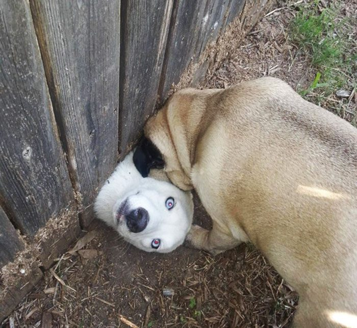 funny-dogs-sticking-heads-through-fences-13-57a2fef3c7c6f__700