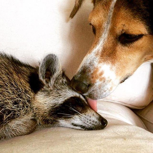 rescued-raccoon-pumpkin-laura-young-1