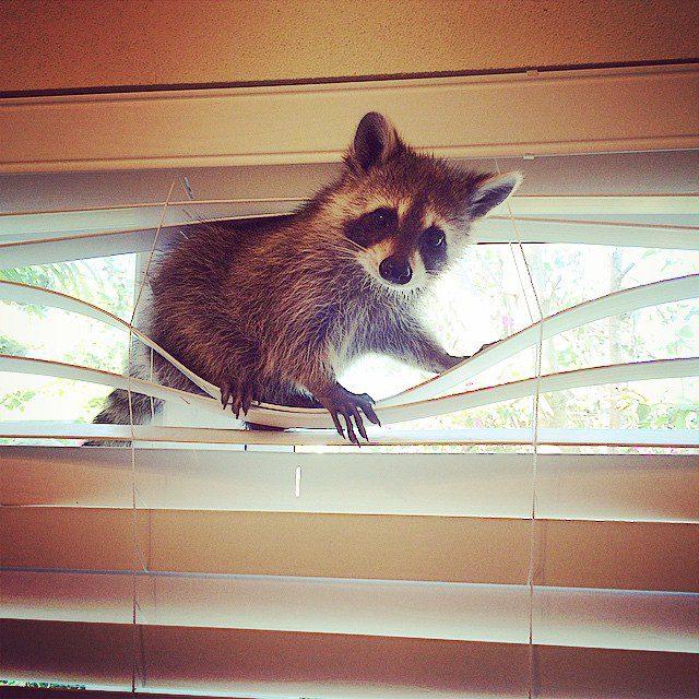 rescued-raccoon-pumpkin-laura-young-11