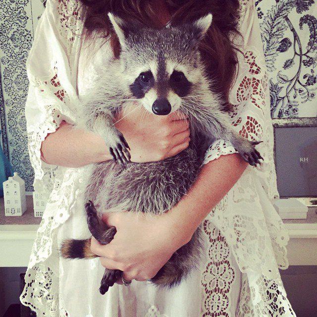 rescued-raccoon-pumpkin-laura-young-14