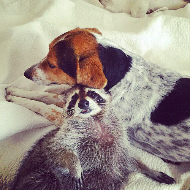 rescued-raccoon-pumpkin-laura-young-30