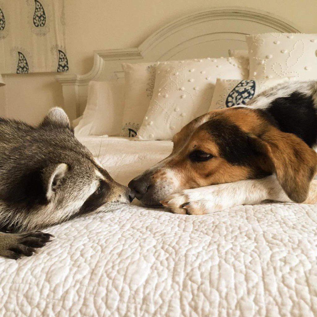 rescued-raccoon-pumpkin-laura-young-32-1024x1024
