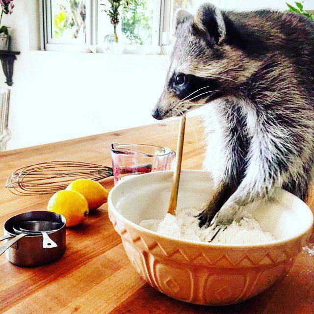 rescued-raccoon-pumpkin-laura-young-36 (1)