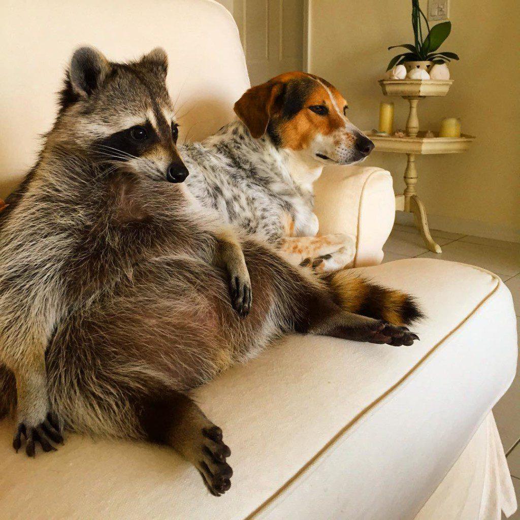rescued-raccoon-pumpkin-laura-young-4-1024x1024