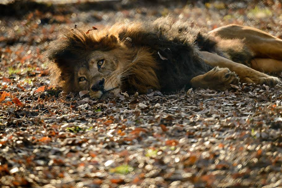 sheila_lion10