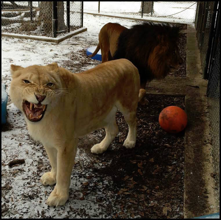 sheila_lion13