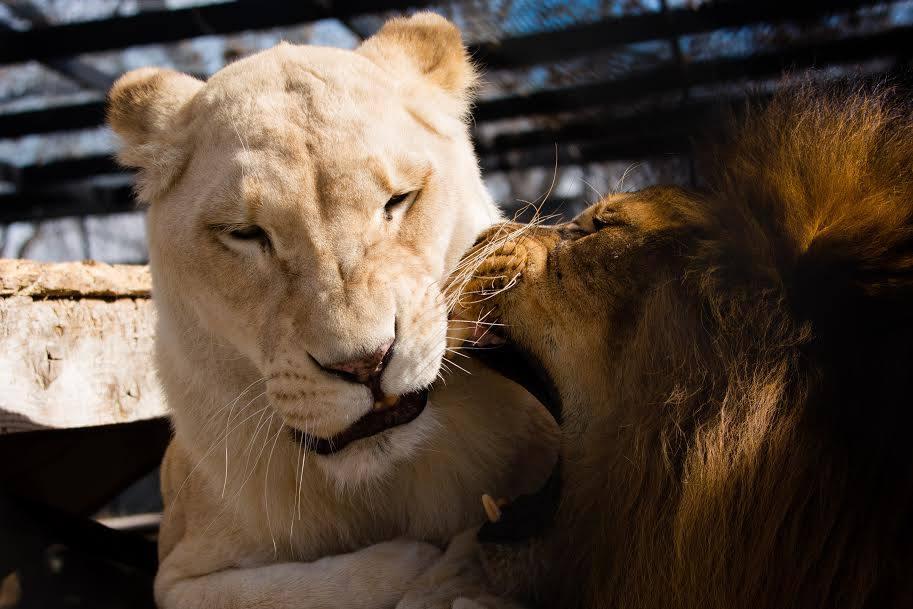 sheila_lion15