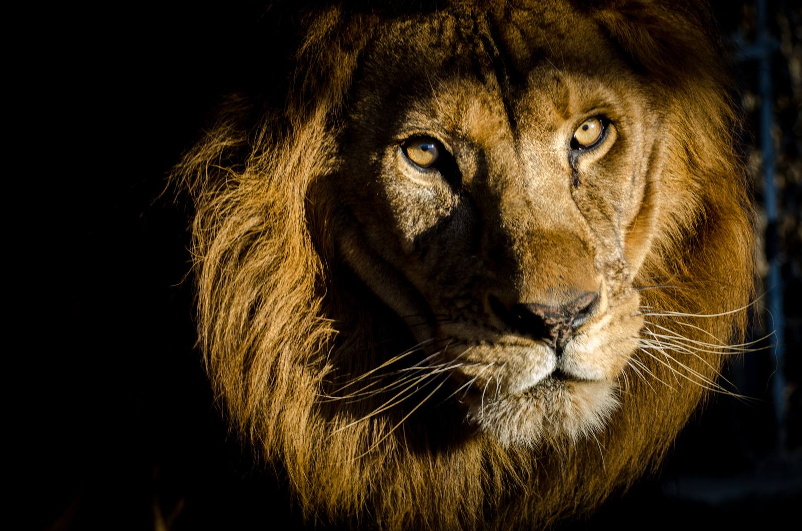 sheila_lion16